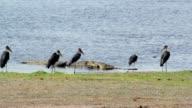 Nile Crocodile and Marabu feasting on carrion buffalo video