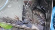 Nile Tilapia fish in street market video
