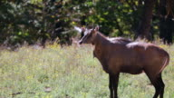 Nilgai Antelope Male video