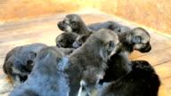 Nine puppies German shepherd dog in the booth video