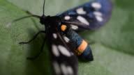Nine spotted moth on green leaf video