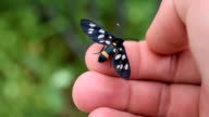 Nine-spotted moth butterfly on human hand video
