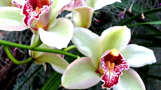 Dendrobium nobile video