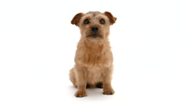 Norfolk Terrier dog, 4K video