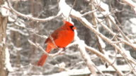 Northern cardinal during heavy snowstorm video