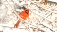 Northern Cardinal perched on branch in a winter storm video