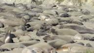 northern elephant seals  Mirounga angustirostris video