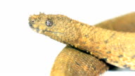 Northern Eyelash Boa (Trachyboa boulengeri) video