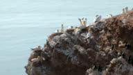 Northern Gannets on a cliff video