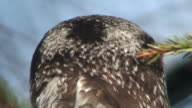Northern Hawk Owl (Surnia ulula) three video