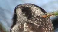 Northern Hawk Owl (Surnia ulula) two (HD1080i/50) video