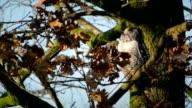 Northern Hawk Owl video