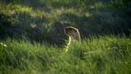 Northern Kazakhstan, Torgay steppe. Groundhog on a background of green grass. Quickly hides in the grass. video