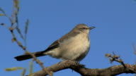 Northern Mockingbird Perched On Branch video