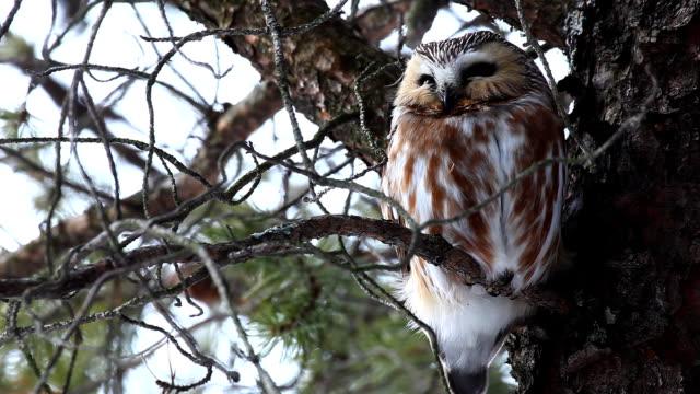 Northern Saw-whet Owl, Aegolius acadicus video