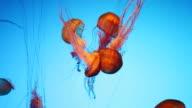 northern sea nettle video