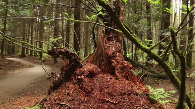 Northwest Forest Decaying Stump dolly shot video