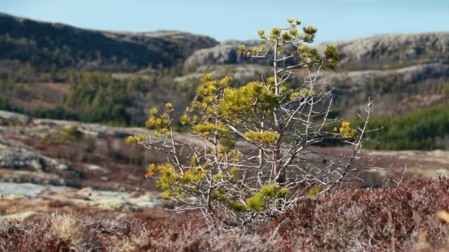 Norwegian spring nature fragment. Small pine tree swinging in the strong wind with mountains on the background video