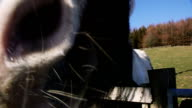 Nosy Farm Horse video