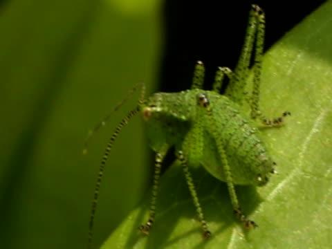 NTSC:Grasshopper video