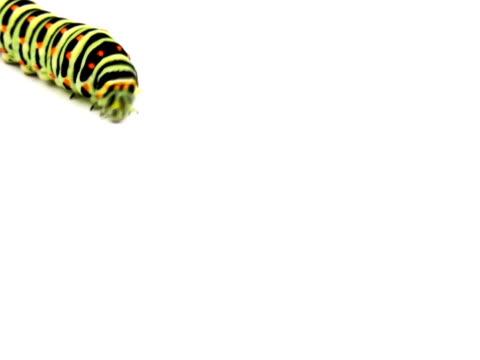 NTSC:Swallowtail caterpillar video