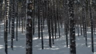 CLOSE UP: Numerous narrow and tall spruce tree trunks in amazing winter woodland video