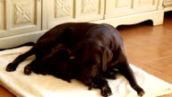 nursing brown labrador puppies with her mother video