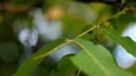Nut Tree video