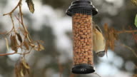Nuthatch on a bird table video