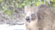 Nutria Otter sand land Cuba video video