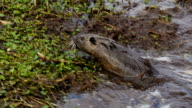 Nutria Rat video