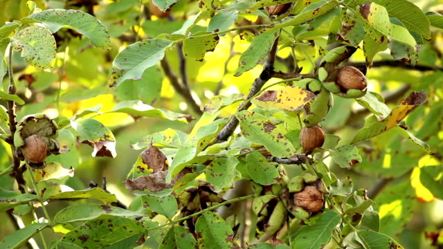Nuts on the tree. video