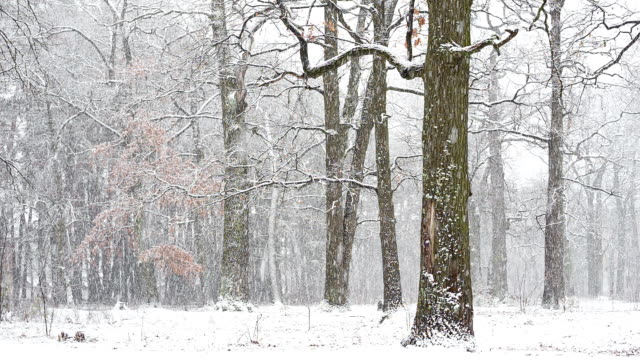 Oak grove during a snowstorm in the winter. video