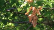 Oak in summer day video