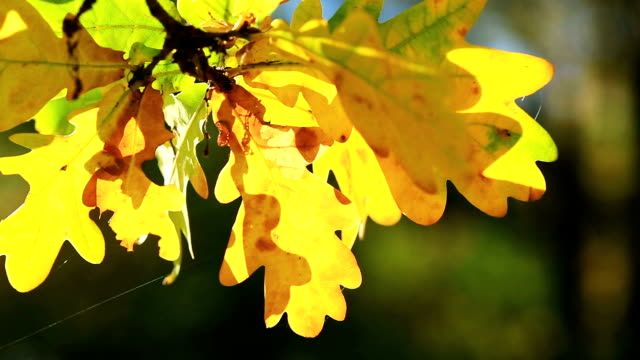 Oak Leaf in autumn video