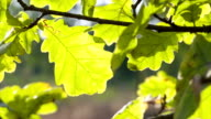 Oak leaves stagger from wind in the wild. video