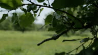 Oak tree branches and leafs video