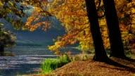 Oak tree in fall video