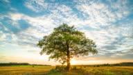 Oak tree in field video
