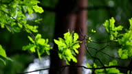 Oak Tree On Blurred Background video