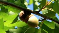 Oak tree video
