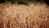 oat crop saying through wind video