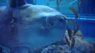 Oceanic sunfish (Mola mola) close up shot in Osaka, Japan aquarium video