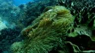 Ocellaris clownfish are darting off camera video