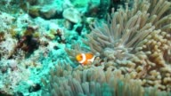 Ocellaris Clownfish video