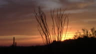 Ocotillo Tree sunset in the Superstition Mountains, Arizona video
