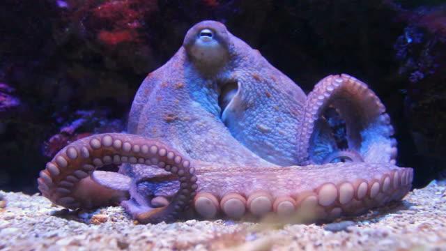 Octopus close up in Aquarium video