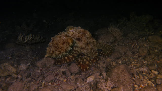 Octopus Hunting video