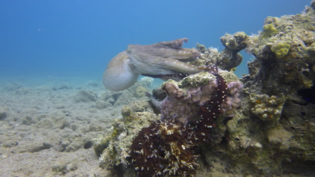Octopus Mating video