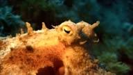 octopus, mediterranean sea, under water video
